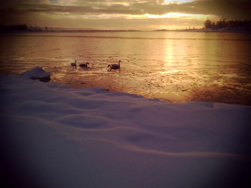 Geese in the frigid waters off Helsinki.