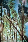 A close up of frozen cattails.