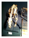 A skeleton of a wolf on display at the Finnish Museum of Natural History.